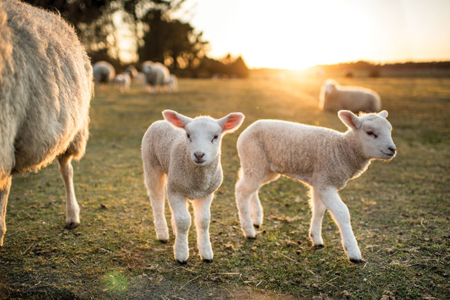 suffering in plain sight the uk lamb and sheep industry vegan