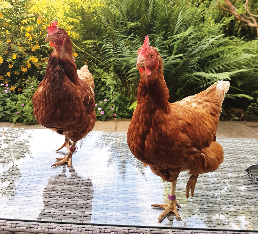 ex battery hens for sale essex