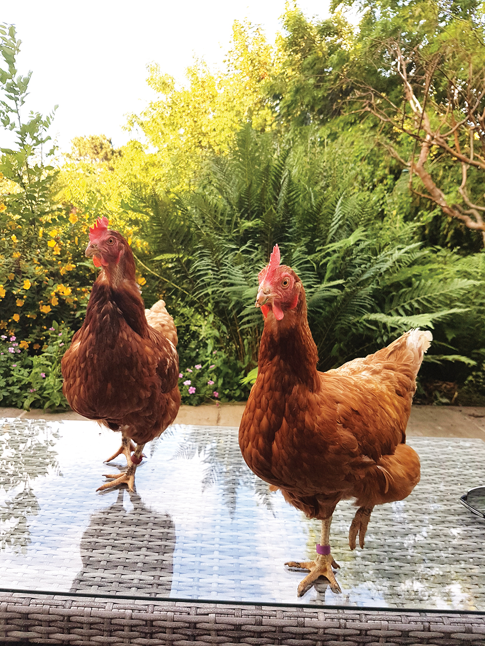 Backyard hens: Why should we rescue them, and can we eat their eggs?