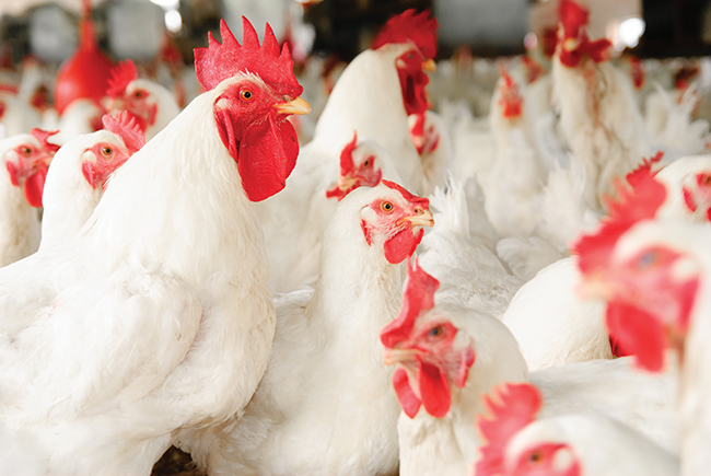 The truth about the modern day chicken industry