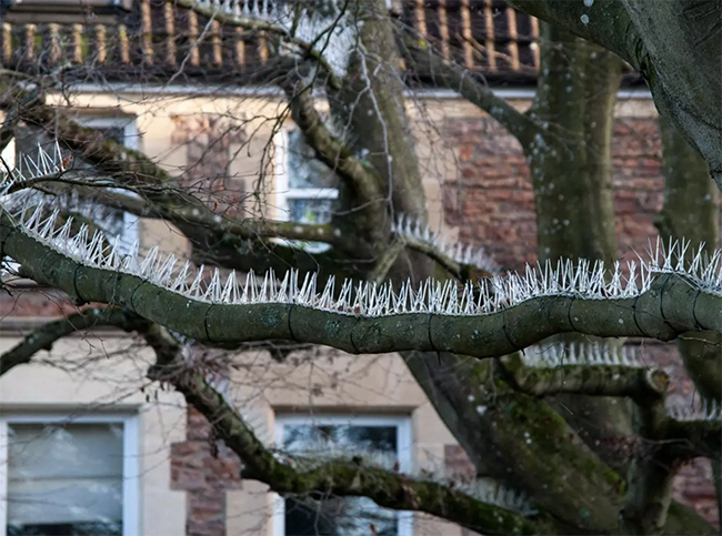 'Anti-bird spikes' installed on trees in Bristol to stop birds pooing on cars