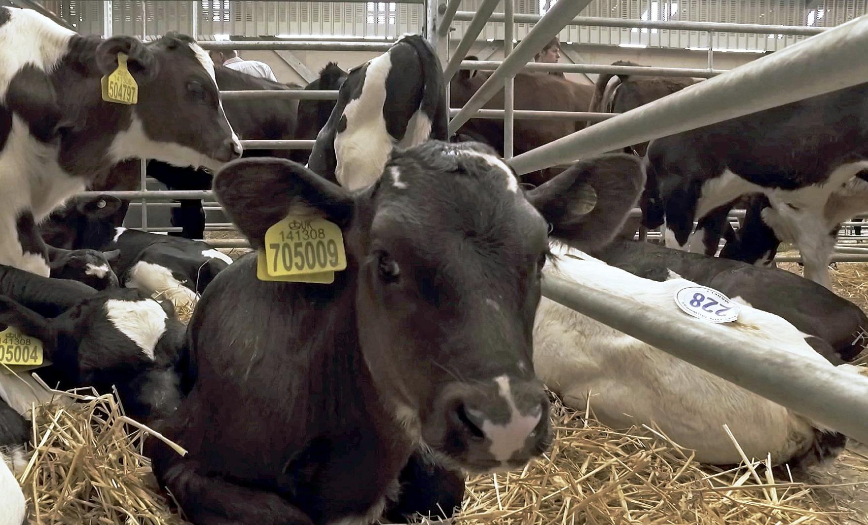 bbc dark side of dairy documentary